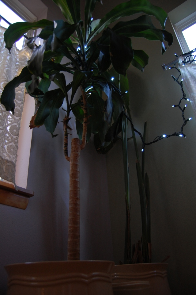 """Our neighbors honor the Solstice with a """"Circle of Lights"""" celebration, and the children will walk a large spiral made of candles placing their own candle at the center. We are not putting up a tree, but we do have an atypical Pacific Northwest Winter Palm."""